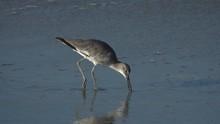 Shorebird Feeding