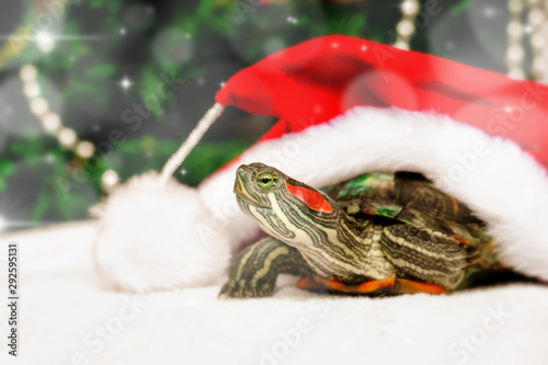 Cuadros en Lienzo Christmas creative card with turtle in red santa claus hat
