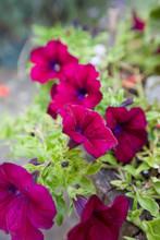 Purple Petunias In Flower In August