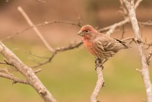 Female Northern Cardinal On Br...