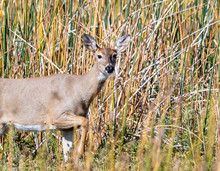 A Whitetail Doe Moves Through Reeds In An Idaho Wetland.