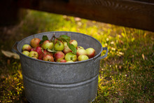 September Ruby Apples In A Galvanized Bucket