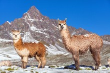 Llama Or Lama, Two Lamas On Pa...