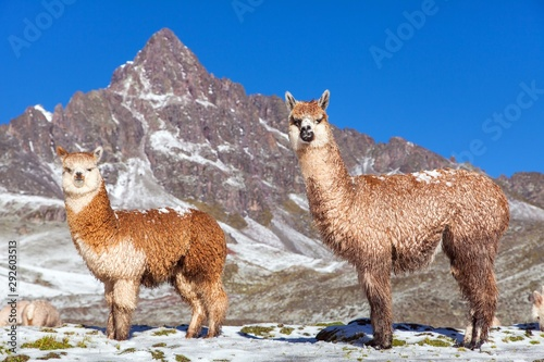 llama or lama, two lamas on pastureland Wallpaper Mural