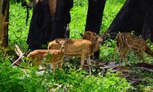 A Pair Of Spotted Deer Peeking...