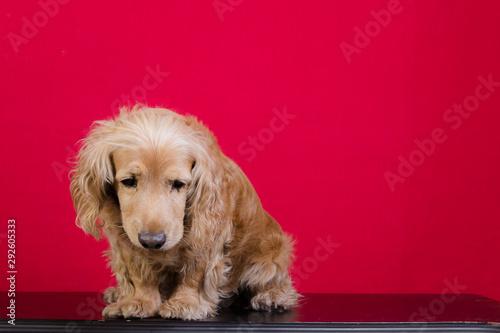 Fotografía  Perro cocker español dorado sentado en fondo rojo