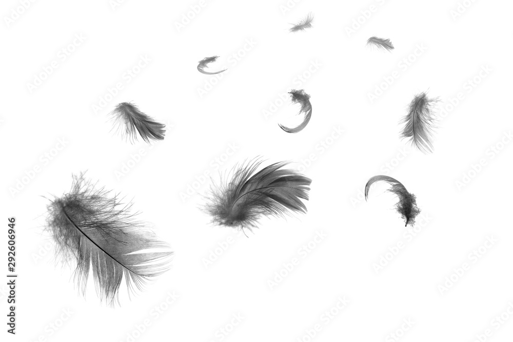 Fototapety, obrazy: Beautiful group black feathers floating in air isolated on white background