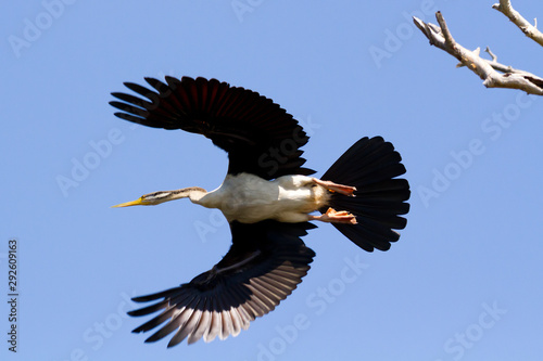 Fotografie, Tablou  Australian Darter, or Snake-neck bird flying, Northern Territory, Australia