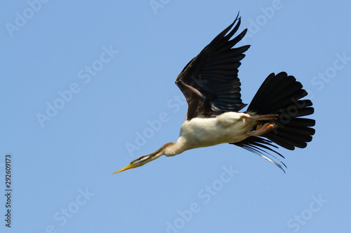Australian Darter, or Snake-neck bird flying, Northern Territory, Australia Tablou Canvas