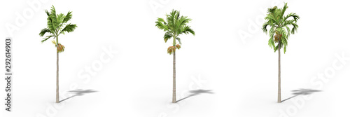 Betel nut palm on a white background Wallpaper Mural
