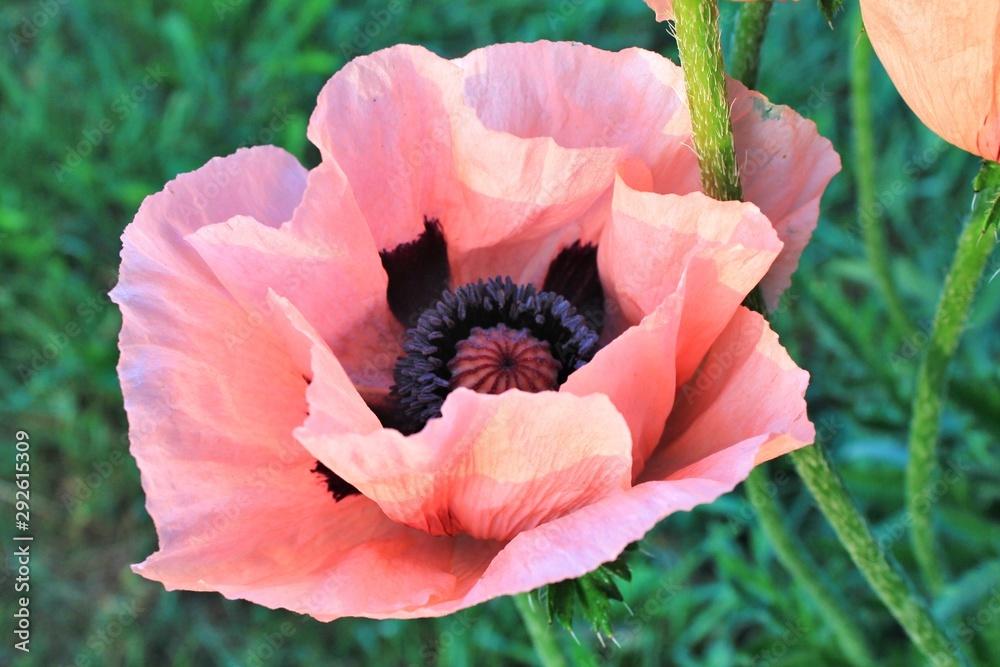 Ładny różowy makowy kwiat z zamazaną zieloną trawą w tle