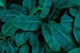 tropikalny liść bananowca, streszczenie zielony liść bananowca, duże liście palmowe natura ciemnozielone tło