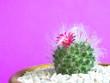 Leinwanddruck Bild - Cactus Mammillaria Schumannii in a pot