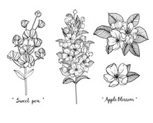 Sketch Floral Botany Collection. Apple Blossom And Sweet Pea Flower Drawings. Black And White With Line Art On White Backgrounds. Hand Drawn Botanical Illustrations.Vector.