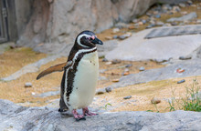 Penguins Resting On The Rocks ...