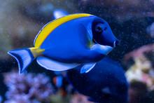 Powder Blue Tang (Acanthurus Leucosternon) Swimming In Coral Reef Tank
