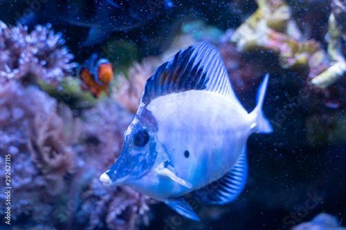 Photo White aberrant scopas tang(Zebrasoma scopas) very rare marine fish