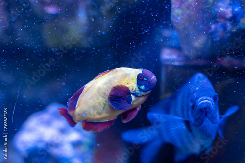 Fotografie, Tablou  Gold Nugget Maroon Clownfish (Premnas biaculeatus) color varietion captive-bred
