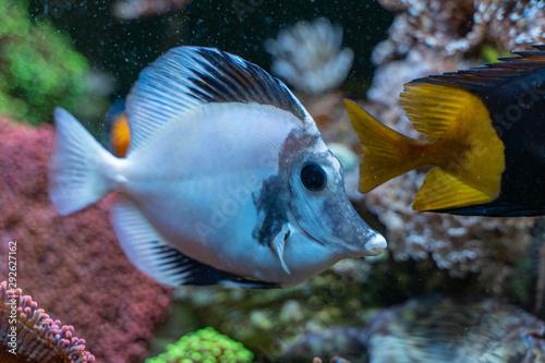 White aberrant scopas tang(Zebrasoma scopas) very rare marine fish Wallpaper Mural