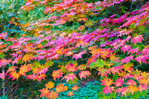 Japanese maple tree with colourful leaves during autumn