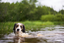 Portrait Of A Dog Swimming In A Small Pond Near The Shore.