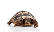 Eastern Hermann's Tortoise, Eu...