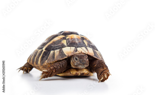 Poster de jardin Tortue Eastern Hermann's tortoise, European terrestrial turtle, Testudo hermanni boettgeri, turtle on a white background