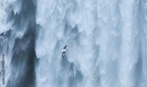 FULMAR (Fulmarus glacialis),Skogafoss, Southern Iceland, Iceland, Europe