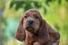 Puppy Of Irish Red Setter. Looking On The Camera