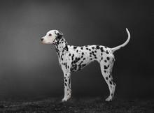 Dalmatian Dog Isolated On Grey Background