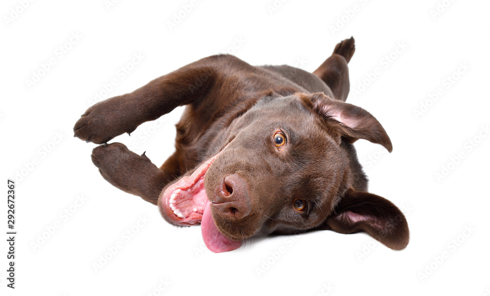 Fototapeta Funny playful Labrador puppy lying on his back isolated on a white background