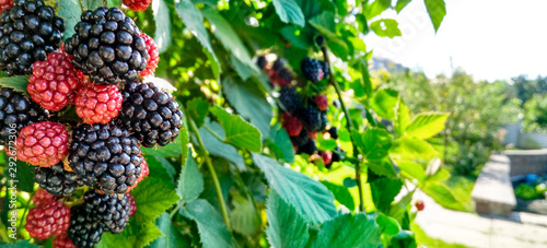 Fototapeta Berry background. Close up of ripe blackberry. Ripe and unripe blackberries on the bush with selective focus. obraz
