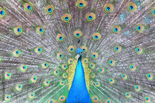 Foto op Aluminium Pauw head of beautiful peacock on background of colored bright peacock feathers