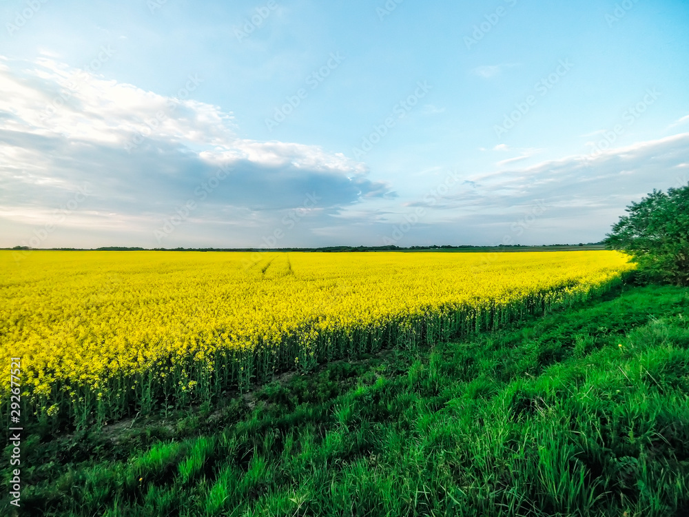 Incredible landscape with a yellow field of radish in a sunny day against the blue sky with clouds.