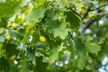 Green Oak Leaves And Acorns At...