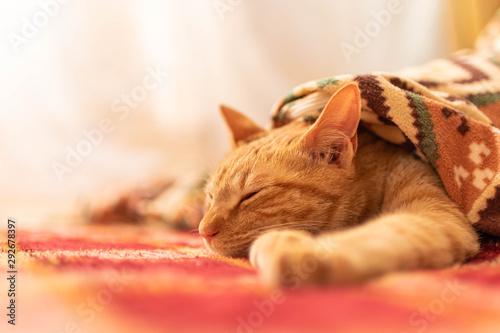 ちゃとら猫5 redtabby cat 5 Poster Mural XXL