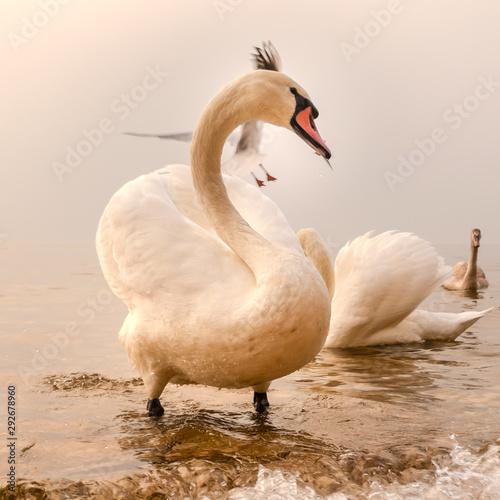 Photo Cisnes en Lago Di Garda, Italia