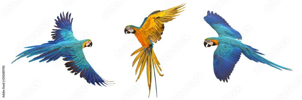 Fototapeta Set of macaw parrot isolated on white background