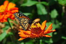 Orenage Butterfly On Orange FLower Climbing