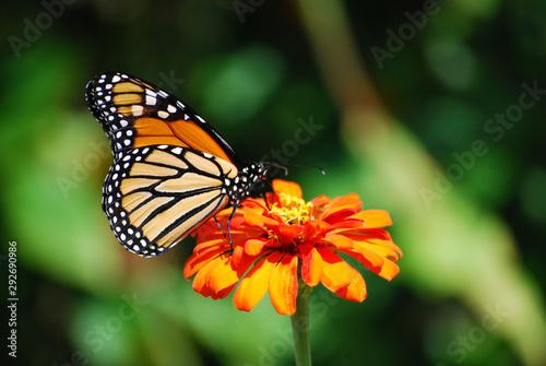 Light colored Monarch Butterfly on well light orange flower