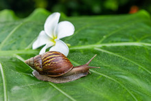 Large Achatina Snail Crawling ...