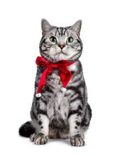 Handsome British Shorthair Cat...
