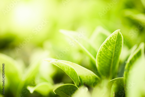 Foto op Canvas Zwavel geel Closeup beautiful view of nature green leaves on blurred greenery tree background with sunlight in public garden park. It is landscape ecology and copy space for wallpaper and backdrop.