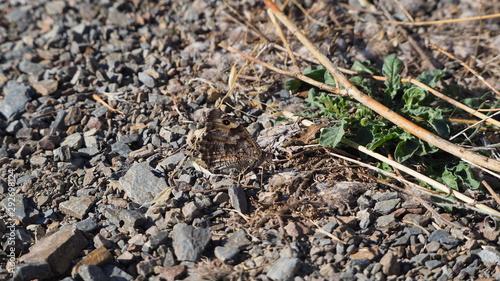 Valokuvatapetti mariposa de tonos marrones y grises, cuatro patas, dos antenas, ojos grandes, un