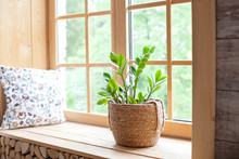 Zamioculcas Home Plant In A St...