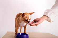 Female Giving Domestic Pet Handful Of Dog Food On Background Of White Wall