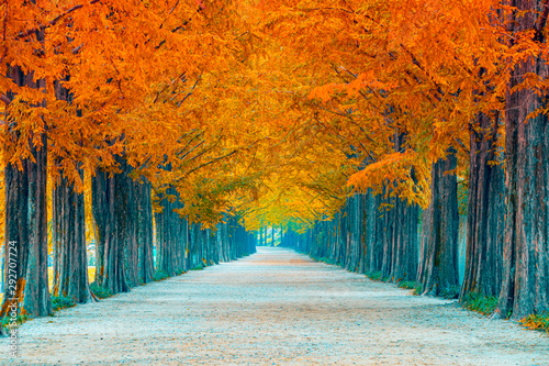 Spoed Foto op Canvas Baksteen Tree tunnel in autumn and row of ginkgo tree and walkway in yellow tree tunnel South Korea