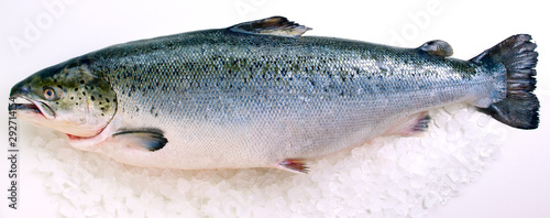 Fotografia Fresh whole Salmon on ice against white background