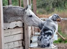 Grey Horse Flirting With Aussie