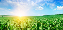 Green Corn Field And Bright Sunrise Against The Blue Sky. Wide Photo.